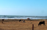 Cattle and the Coast in Northern California