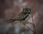 Northern Hawk Owl in British Columbia