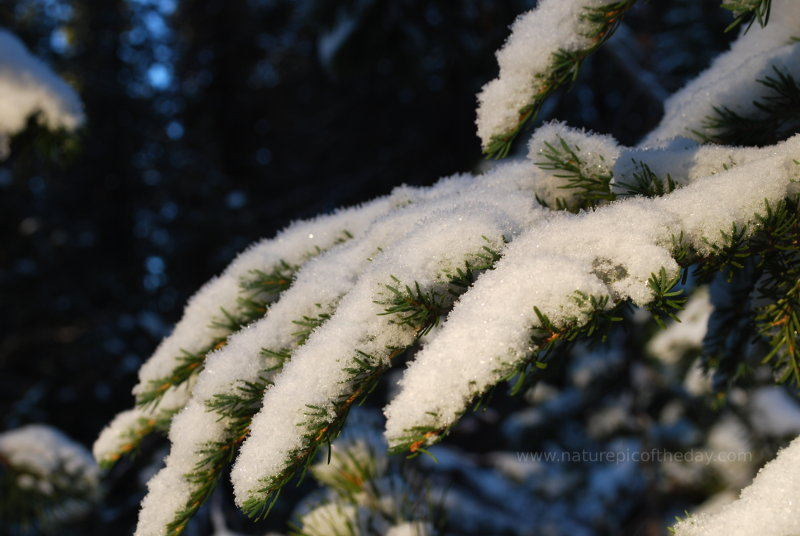 Snow on needles in Montana.