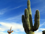 Green Saguaro and Blue Sky