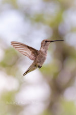Hummingbird in Texas