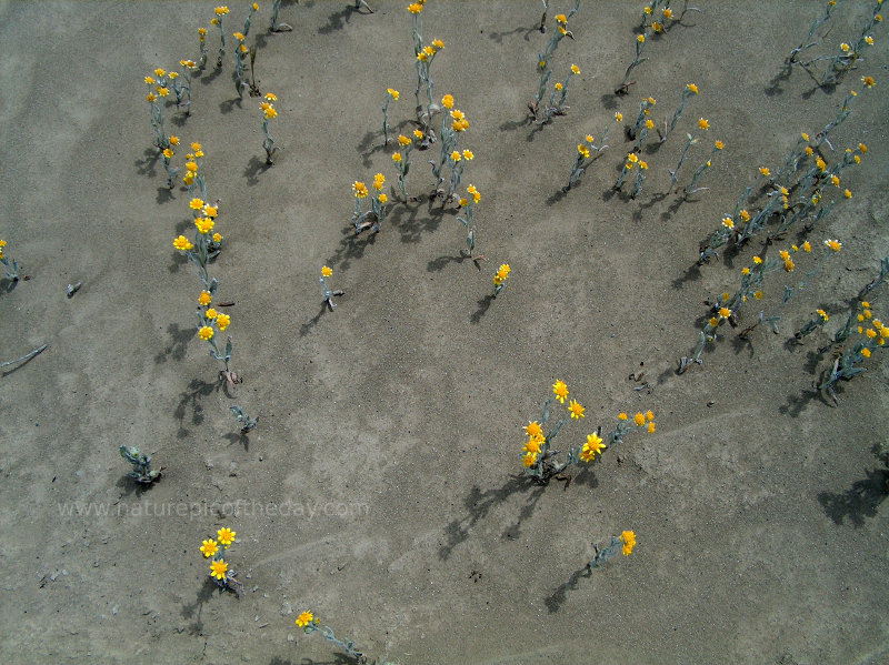 Yellow flowers in a salt flat