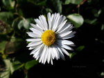 Daisy in London Heralds spring
