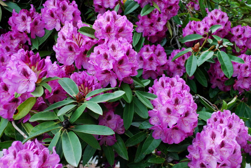 Whitney Late Purple Rhododendron in Washington