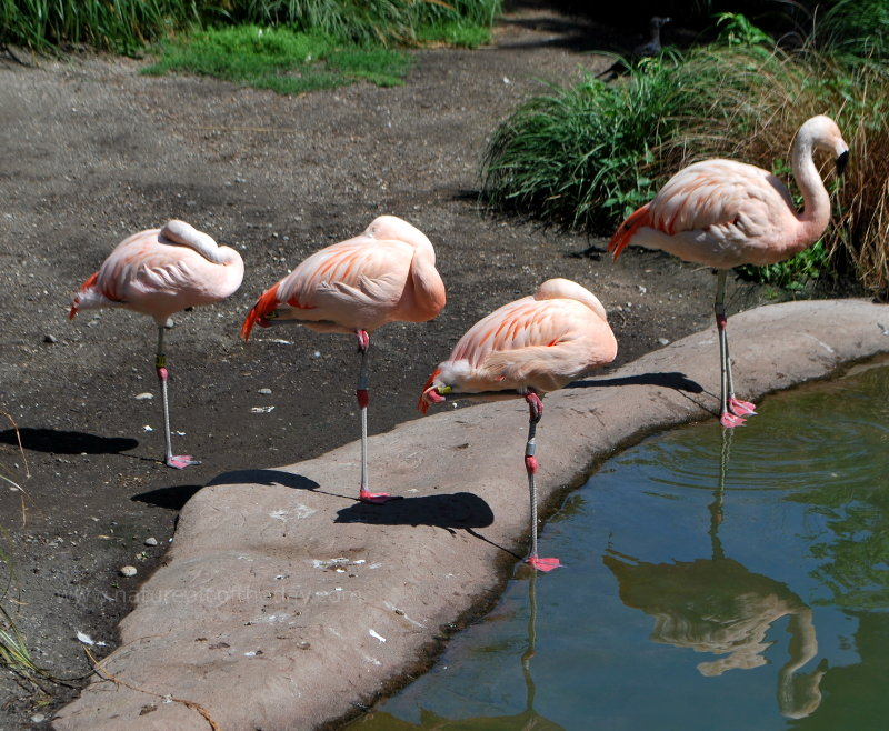 Flamingos at Woodland Park Zoo