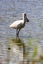 A Royal Spoonbill bird in Coomaditchy Lagoon, Port Kembla, NSW, Australia