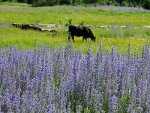 Cow Grazing in Lupine in Montana