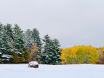 Beautiful yellow birch in an early October snow in Montana.