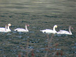 Swans on the Clark Fork