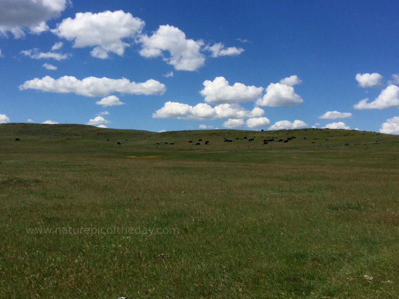 Cattle on the Montana Prairie