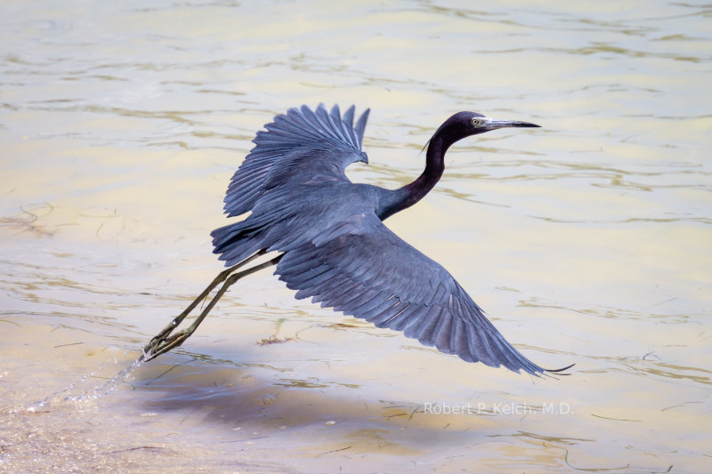 Blue Heron in Belize