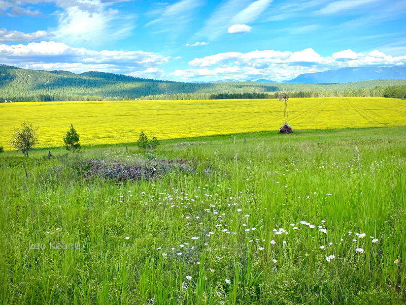 Canola in Montana