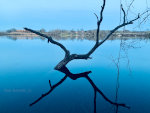 Tree in a lake in Minnesota