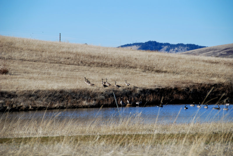 Canadian Geese on a layover in Idaho during their journey north.