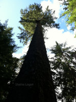 Tall tree from the right perspective.
