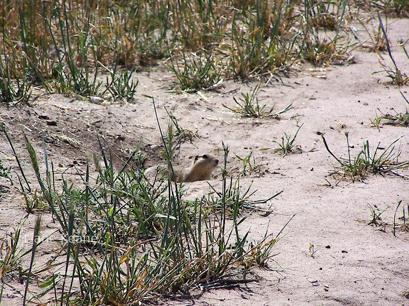 Prairie dogs in eastern Montana