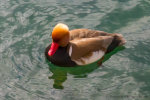 Red-Crested Pochard Duck in Switzerland.