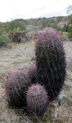 Cactus in the Arizona desert