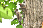 Red Shafted Flicker Woodpeckers in Bothell, WA