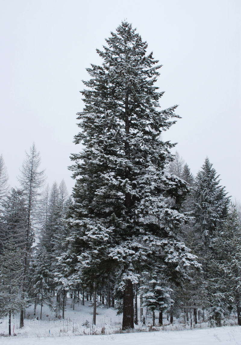 A tall tree covered in snow