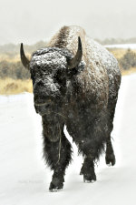 Wildlife Photography.  A Bison in Yellowstone National Park.