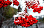 Ice covered holly berry.