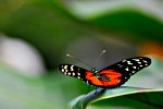 Macro Photography.  Butterfly posing on a leaf.