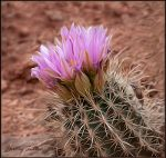 Flowering Cactus in Arches National Park.