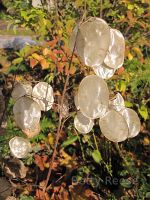 Lunaria seed pods in BC, Canada.