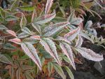Frost covered bamboo leaves