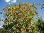 Apple tree in Canada