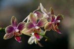 Orchids in Brazil