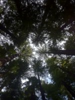 Staring up at the Redwoods