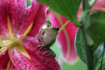 Frog on a flower in North Carolina