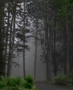 Fog shrouded forest near Lincolnville, Maine