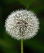 Final Dandelion in Maine