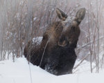 Moose in a snowstorm in Jackson Hole, WY