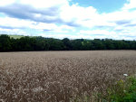 Wheat field in Pennsylvania