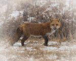 Fox in the wintry mid west.