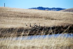 Canadian Geese in Idaho