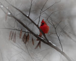 A Cardinal in a Snow Storm in Lincoln, Nebraska