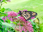 Monarch Butterfly on Swamp Milkweed in Minnesota