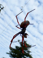A spooky spider on Norfolk Island, Australia