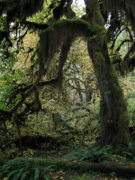 Moss Covered Tree in the Hoh Rain forest