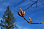 Buds on a tree, soon to be blossoms